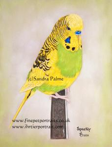 Budgerigar Bird Portrait