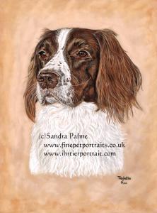 Springer Spaniel dog portrait Teddie