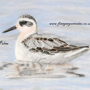 Grey Phalarope bird portrait in pastel