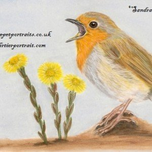 Singing Robin & Coltsfoot drawing