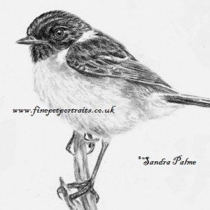 Stonechat drawing
