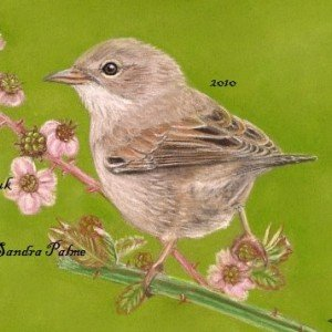 Common Whitethroat painting